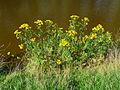 Pflanze mit gelben Blüten.JPG