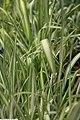 Phalaris arundinacea Feeseys Form 1zz.jpg