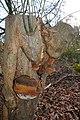 Phellinus igniarius (GB= Willow Bracket, Syn. Tinder Box Fungus, D= Gemeiner- oder Grauer Feuerschwamm, F= Faux amadouvier, NL= Echte vuurzwam) white spores and causes white rot, at Schaarsbergen - panoramio.jpg