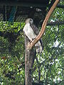 Philippine Eagle - Pithecophaga jefferyi - Ninoy Aquino Parks & Wildlife Center 03.jpg