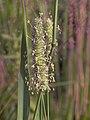 Phleum pratense subsp. pratense, timothee.jpg