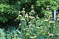 Phlomis russeliana IMG 0067.jpg
