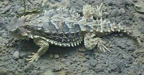 Description de l'image Phrynosoma asio.jpg.