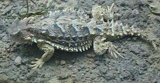 Giant horned lizard species of reptile