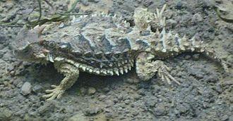 Giant horned lizard - Image: Phrynosoma asio