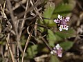 Phyla nodiflora (L.) Greene (40891931011).jpg