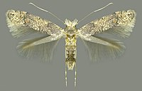 Phyllonorycter pastorella, imago.jpg