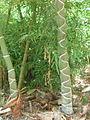 Phyllostachys edulis kikko au Jardin Jungle.JPG