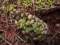 Piña y liquenes Xanthoria parietina y Physcia sp. (8703574348).jpg