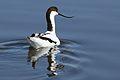 Pied Avocet, Recurvirostra avosetta at Marievale Nature Reserve, Gauteng, South Africa (27625008890).jpg