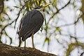 Pied Heron (Egretta picata) (4334182626).jpg