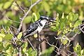 Pied kingfisher (Ceryle rudis rudis) eating fish.jpg