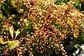 Pieris japonica Zebris Red Mill 0zz.jpg