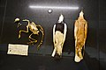 Pigeons collected by Darwin (40147078082).jpg