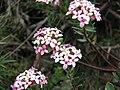 Pimelea alpina.jpg