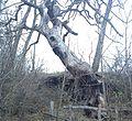 Pine Gleboczek.jpg