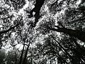 Pine forest , top view.jpg