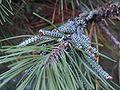 Pine sawflies 1.JPG