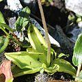 Pinguicula vulgaris var. macroceras (leaf).JPG