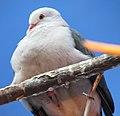 Pink Pigeon 2.jpg