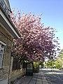 Pink beauty (8747109724).jpg