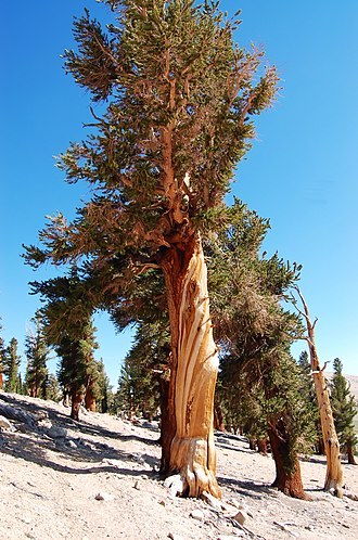 Bibliography of the Sierra Nevada - A foxtail pine in Sequoia National Park