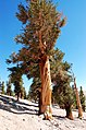 Pinus balfouriana oldtree2.jpg