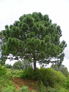 Pinus Latteri Wikipedia