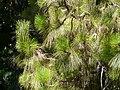 Pinus roxburghii de la Diagonal P1260798.jpg