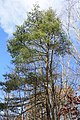 Pinus strobus in Perry County, PA.jpg