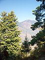 Pinus wallichiana Cedrus deodara Kullu 1.jpg