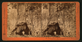 Pioneer's Cabin, near view, diameter 32 ft. Mammoth Grove, Calaveras County, by Lawrence & Houseworth 2.png