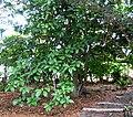 Pisonia umbellifera (5188339358).jpg