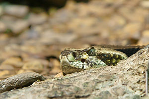 Pit viper - The loreal pits are clearly visible below and slightly anterior to the eyes.