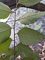 Planera aquatica, Water Elm. Underside of leaf.jpg
