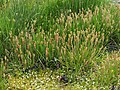 Plantago maritima plant (45).jpg