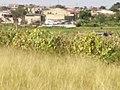 Plantation of vegetables and maze meals on wetlands.jpg