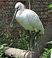 Platalea leucorodia, Belgrade Zoo.jpg