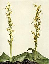 Platanthera hookeri WFNY-036.jpg