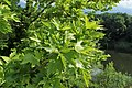Platanus orientalis kz05.jpg