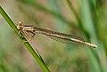 Platycnemis pennipes qtl3.jpg