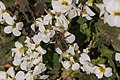 Pleney-Apis mellifera-20140314.jpg