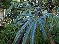 Plerandra elegantissima kz02.jpg