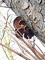 Pleurotus ostreatus 110409199.jpg