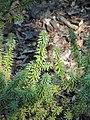 Podocarpus acutifolius - J. C. Raulston Arboretum - DSC06142.JPG