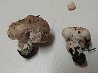 Podohydnangium australe 332294.jpg