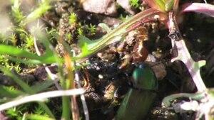 File:Poecilus versicolor with prey.ogv