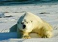 Polarbär 014-2004.jpg