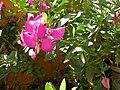 Polygala myrtifolia pfsk 3.JPG