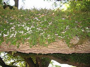 Polypodiaceae - Pleopeltis polypodioides fronds on an oak limb